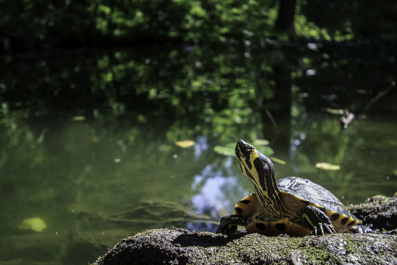 Bucharest Nature Photography Romania Turtle Cuteness Turtle 🐢 Turtles Animal Animal Themes Animal Wildlife Animals In The Wild Botanical Garden Day Focus On Foreground Lake Nature No People One Animal Outdoors Reptile Rock Turtle Turtles In The Sun Vertebrate Water