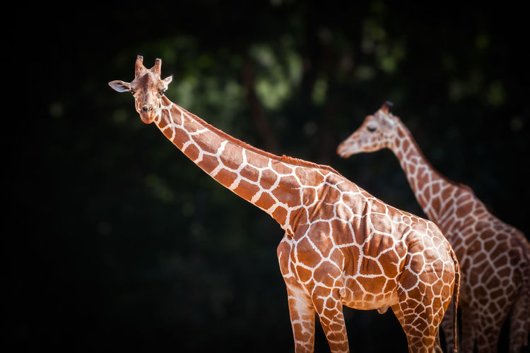Giraffe Animal Animal Themes Animal Wildlife Mammal No People Animals In The Wild Focus On Foreground One Animal Animal Neck Outdoors Safari Herbivorous Animal Body Part Nature