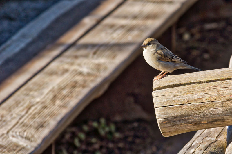Animal Themes Animal Wildlife Animals In The Wild Bird Close-up Day Mourning Dove Nature No People One Animal Outdoors Perching Sparrow Wood - Material