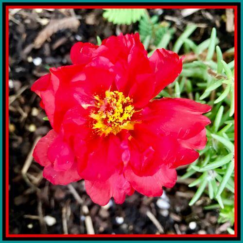 Just blooming 🍃🌹🍃 Newflower RedFlower Blooming Nature Garden Plants Eyeem Flowers Zoomed Out 🍃🌹🍃