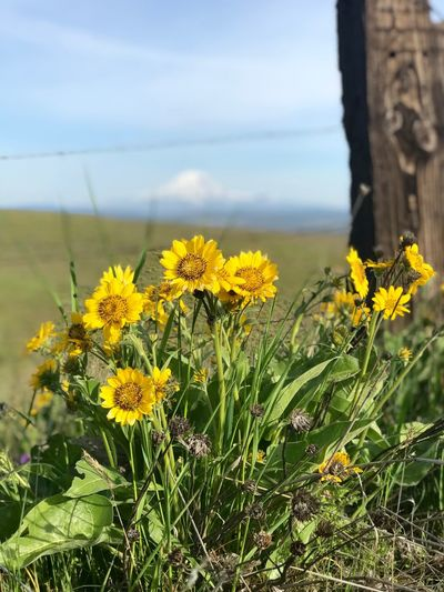 Balsam Root & Lupine Chillaxing Nature Beauty Beauty Klickatat Summer Exploration Summertime Plant Growth Flowering Plant Flower Beauty In Nature Yellow Fragility Freshness Nature No People Vulnerability  Focus On Foreground Close-up Day Sky Flower Head Tranquility Land Inflorescence Field