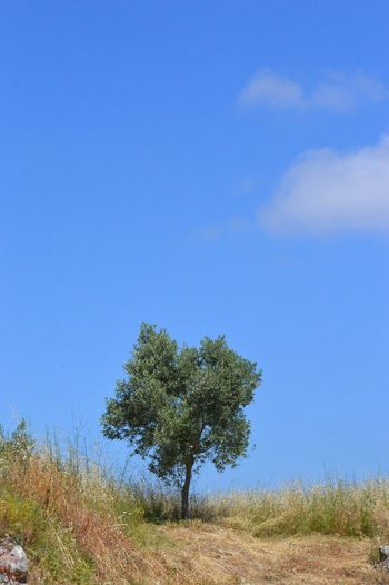 Tree Field Lone Meadow Summer Grass Countryside Prarie Mediterranean  Nature Blue Sky Tree_collection