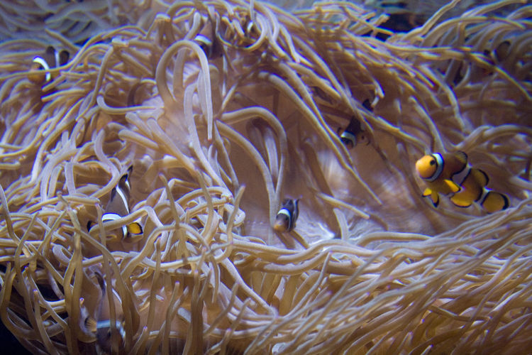 Close-Up Of Clown Fish Swimming By Anemone