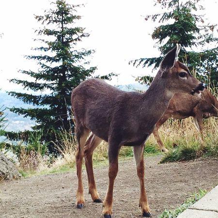 Hurricane Ridge Washington State Deer Doe