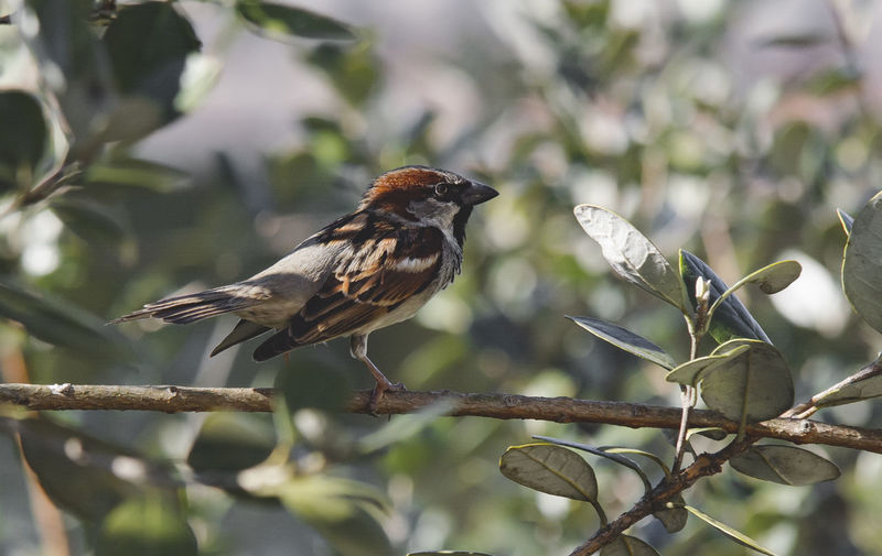 Bird Bird Animal Themes Animal Vertebrate One Animal Animal Wildlife Animals In The Wild Perching Branch Tree Plant Focus On Foreground Sparrow Day No People Nature Outdoors Beauty In Nature Close-up Plant Part