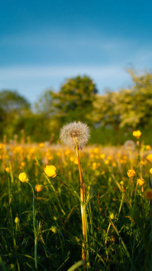 Close-up of yellow dandelion flowers on field