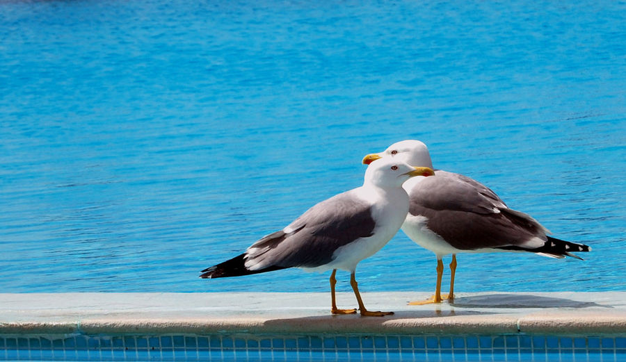 Holidays Animal Animal Themes Animal Wildlife Animals In The Wild Beach Beauty In Nature Bird Blue Day Group Of Animals Marine Nature No People Outdoors Perching Sea Seagull Summer Swimming Pool Togetherness Two Animals Two Birds Vertebrate Water EyeEmNewHere