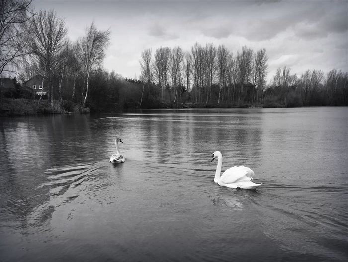 Swans Swimming In Lake Against Trees