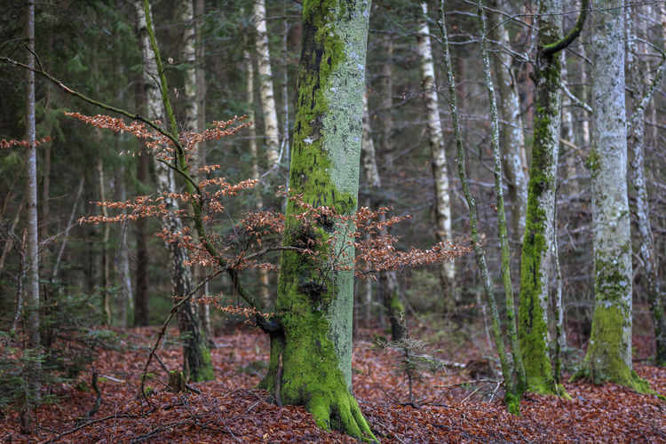 Beech trees in the south of Sweden on the island Öland. Autumn and everything is quiet and peaceful. Autumn Dry Leaves Green Nature Sweden Trees Beauty In Nature Beech Tree Beechleaves Fall Forest Landscape No People Öland