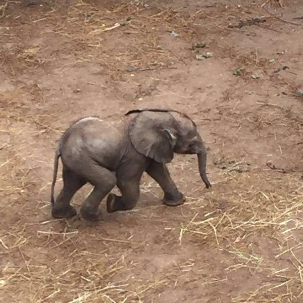 Elefant EyeEm Best Shots Elephant Animals In The Wild Animal Wildlife One Animal Animal Themes Animal Full Length Safari Animals African Elephant Outdoors Animal Trunk