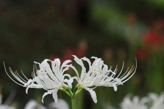 Lycoris albiflora Lycoris Flower Flowerporn Naturelovers