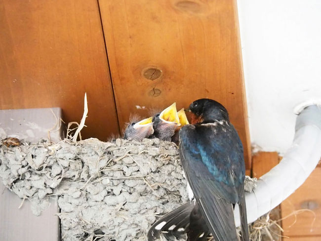 Swallows giving food to children (子供に食べ物をあげるツバメ) Ad Copy Space Japan Nature Animal Animal Wildlife Animals In The Wild Bird Black Color Brown Eating Gray Landscape Margin No People No Person Nobody Outdoors Swallow Swallows Text Space White Wild Wild Bird Young Bird