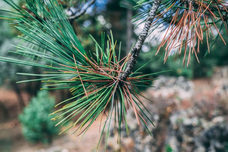 Pine tree needles Wallpaper Segovia Adventure Nature Plant Tree Growth Nature Beauty In Nature Pine Tree Focus On Foreground Coniferous Tree Day Close-up No People Outdoors Green Color Tranquility Leaf Needle - Plant Part Sunlight