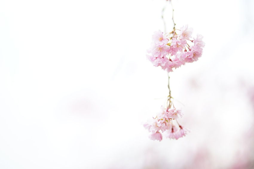 Capture The Moment Uzukiの桜 Sakura Petals🌸 Minimalism Fantasy Fragility Pink Color Blossom Pastel Colored Springtime Uzuki Of The Flower Depth Of Field Beauty In Nature Selective Focus Fine Art Tranquility White Background Snapshots Of Life Nature Still Life Full Frame Detail Sigma EyeEm Best Shots 17_04 Art Is Everywhere EyeEmNewHere EyeEm Diversity