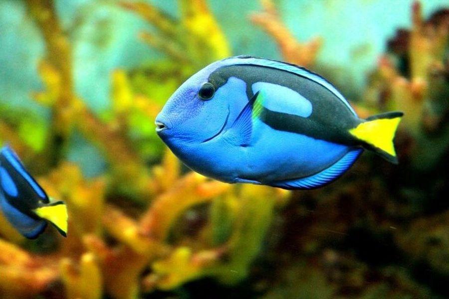 Bluetang Findingdory Dory Underthesea Fish Marine