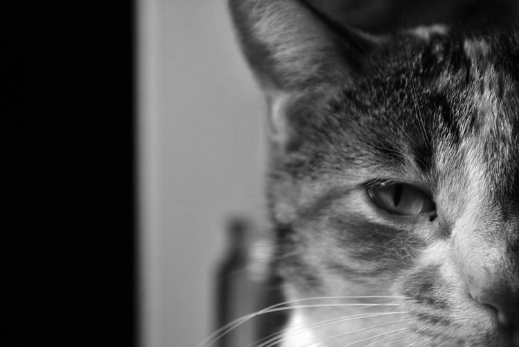 Animal Themes Black And White Cat Domestic Animals Eye Feline Half Of A Face Looking At Camera Mammal One Animal Pets Portrait Staring Up Close And Personal