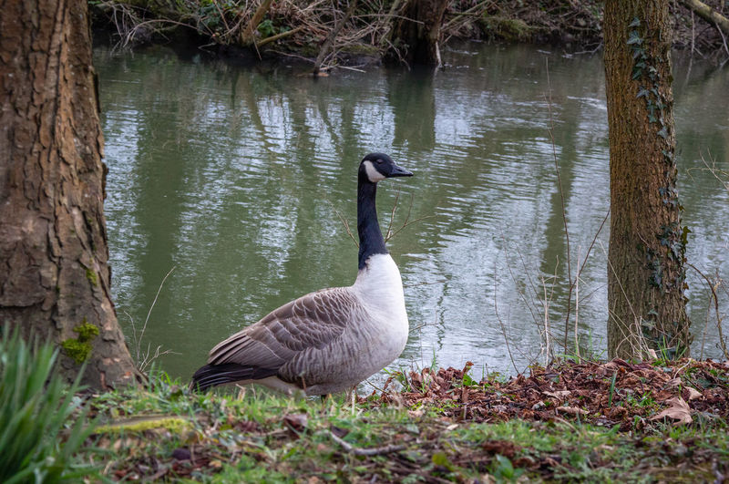 Bird Animal Wildlife Water Bird Outdoors One Animal Nature No People Water Riverbank Goose