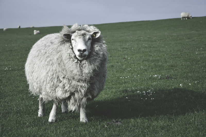 Portrait of sheep standing on grass