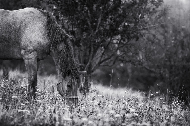 Horse from countryside of Brasov, Romania. Farm Field Nature Rural Animal Animal Themes Beauty Black And White Domestic Animals Grass Horse Livestock Mammal One Animal Outdoor Tree Black And White Friday