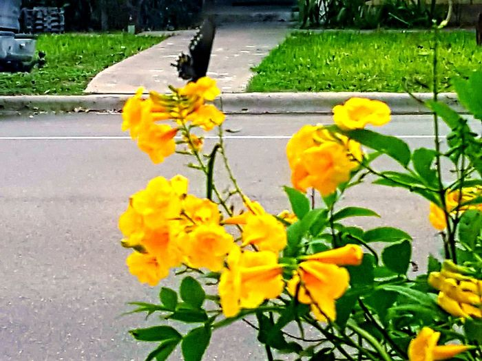 Yellow Flower Plant Nature Leaf Growth Outdoors No People Day Beauty In Nature Road Fragility Close-up Flower Head Freshness Black Butterfly Plant Animals In The Wild Lost In The Landscape