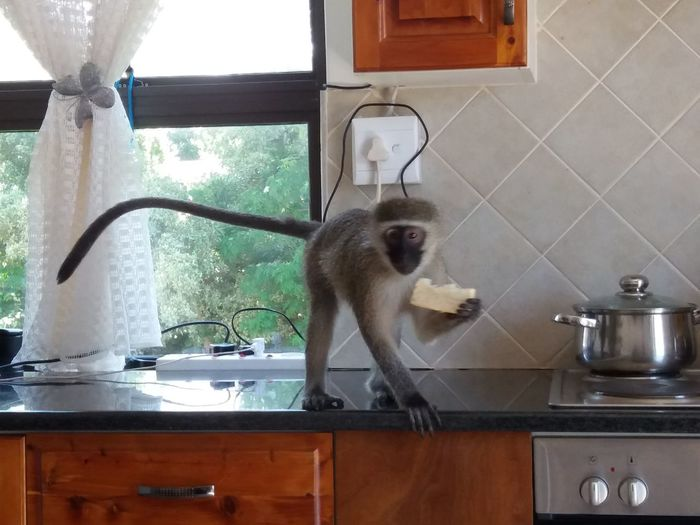 Monkey Love Monkey Back In My Kitchen For Some Bread Monkey Business From My Point Of View South Africa