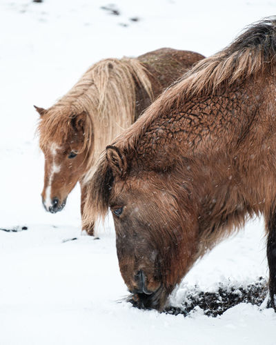 Portrait of a horse on snow covered field