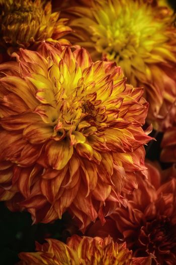 Dahlia Dahlias Flowering Plant Flower Fragility Vulnerability  Petal Growth Freshness Focus On Foreground Yellow No People Pollen Day Outdoors Nature Plant Beauty In Nature Inflorescence Close-up Flower Head