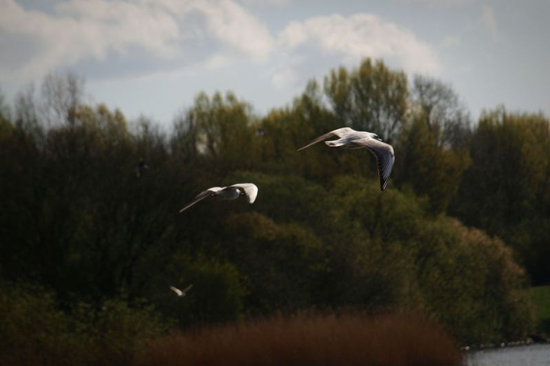 Swan flying by trees against sky