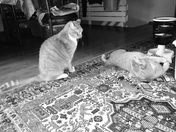 Somethingpretty Cat Lovers 🐱💞 Two Cats Playing Focus On Foreground Cat Photography Something Special Cat Lovers Katzen 💜 3XSPUnity Cats Of EyeEm Cat Play Catlife Cat Photo Lovely Cats Catlifestyle Two Cats On The Floor New Perspective Catch The Moment Black And White Collection  Black And White Cat Portrait Black And White Photography Katzen Portrait Katzenfotografie Cat Collection Playtime