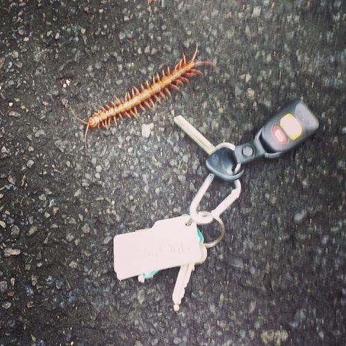 Bigass Centipede Yikes !
