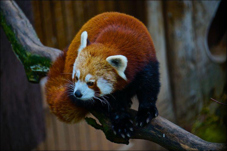 Red panda in nuremberg zoo