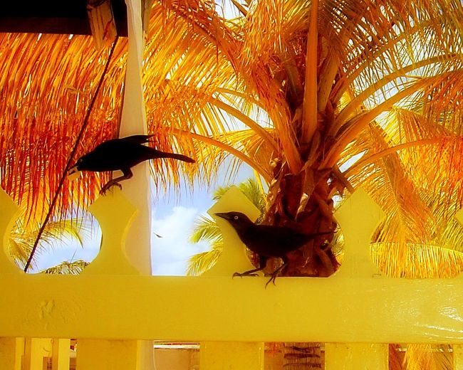 Antigua Beach Bird Photography Black Caribbean Close-up Colorful Contrast Curiousity Day Eye Fence Gold Golden Growth Leaf Low Angle View Nature No People Palm Tree Perching Plant Two Animals Vacation Wildlife