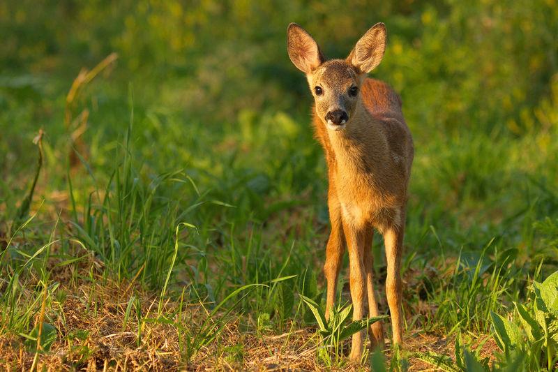 Animal Themes Beauty In Nature Biesbosch Golden Hour Ree Reekalf Roe Deer Roe Deer Cub Wildlife & Nature Wildlife Photography