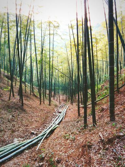 collecting bamboo in moganshan Moganshan China