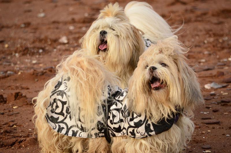 Shih Tzu Dogs On Field