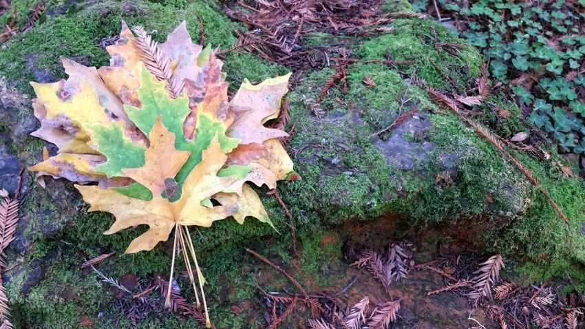 Autumn leaves full of color. Moss and clover background. Pink Gold Yellow Rust Clover Moss Litchen Lavender Spots Maple Leaf Autumn Maple Leaf Change Cold Temperature Dry Close-up Fallen Leaves Leaf Vein Natural Pattern Dew Season  Colored Ground Fall Dried Fallen Leaf Plant Life Drop