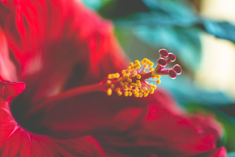 Close-Up Of Red Hibiscus Growing Outdoors