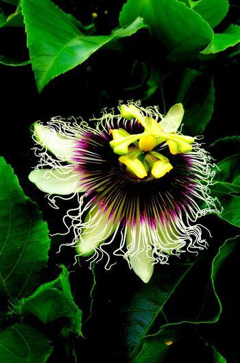 PetitsDetails Imagem Celular Beauty In Nature Close-up Nature Plant Pollen Outdoors Flower Flormaracujá
