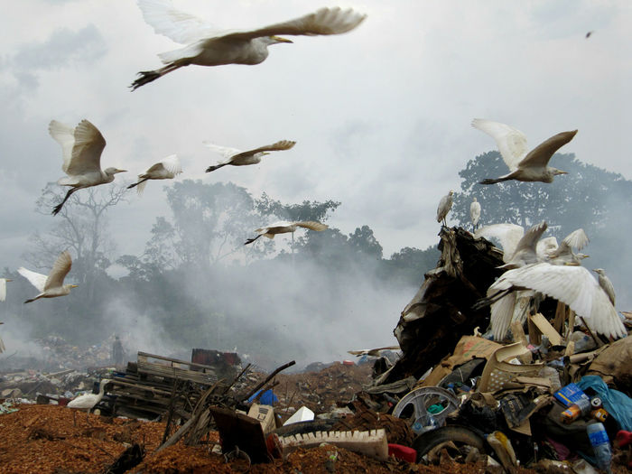 Great egrets flying over garbage dump against sky