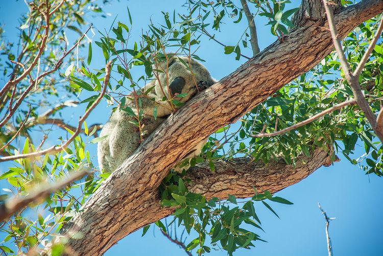 Low angle view of koala on tree against sky