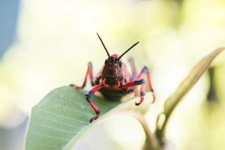 Red Grasshopper in action Invertebrate Animal Themes Insect Animal One Animal Close-up Animal Wildlife Selective Focus Animals In The Wild Plant Part Leaf Green Color Animal Body Part Day Animal Antenna Nature No People Outdoors Macro Ant Animal Eye