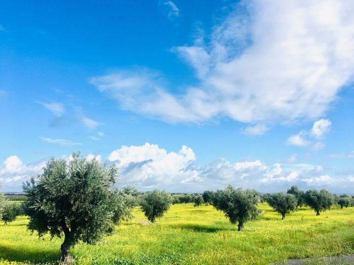 Olives tree in Alentejo region Farm Bluesky Clouds Rows Alentejo,Portugal Yellow Flower Mediterranean  Olive Tree