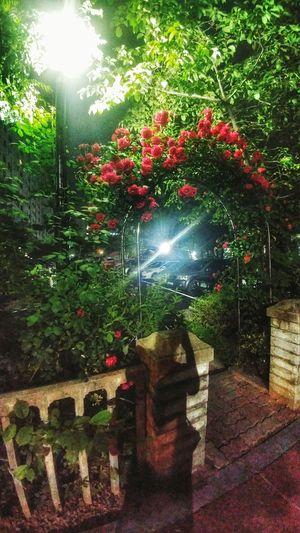 장미덩쿨 장미 집앞 산책 Rose🌹 Walk Flower