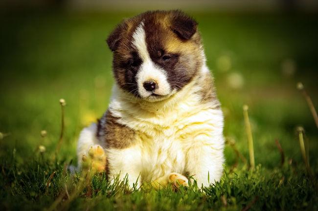 Akita American Akita Dog Little Dog One Animal Outdoors Pets Puppy