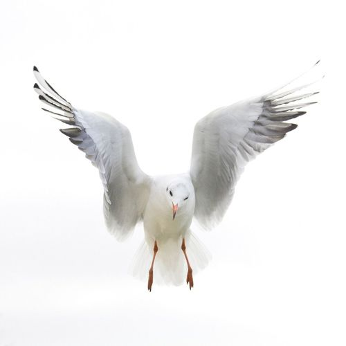 Seagull Bird Animal Themes Flying White Background Nature Seagull Wings Freedom Paris Musée Du Louvre