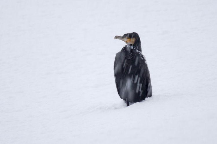 Bird on snow covered land