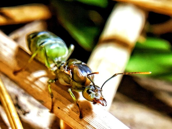 mother ant Insect Leaf Close-up