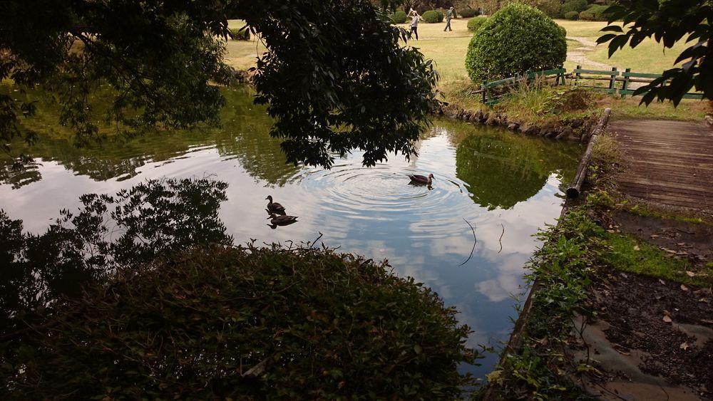 silence Green Shinjuku-gyoen Tokyo,Japan Animal Leaves Sunny Day Tree Water Swimming Flood Bird Puddle Alligator Reflection Fall