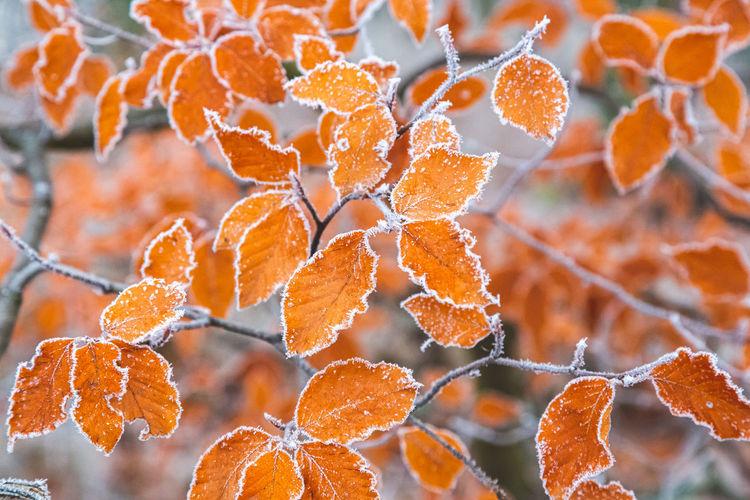 Close-up of orange leaves during autumn