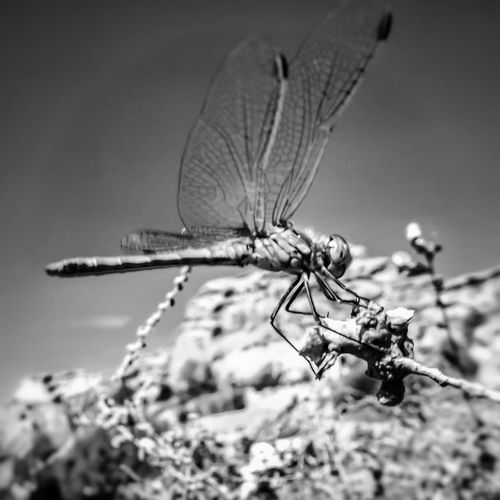Took this picture of a dragonfly using manual settings Close-up Focus On Foreground Selective Focus Nature Beauty In Nature No People Fujifilm Santorini, Greece TakeoverContrast EyeEm Masterclass Malephotographerofthemonth Bnw_captures Black And White Collection  Black And White Photography Black And White Beach Photography Portrait_shots Macro World Macroinsect Macro Insects Dragonfly Dragonfly Nature Insects Dragonfly Photograohy Monochrome Photography Dragonfly Perched